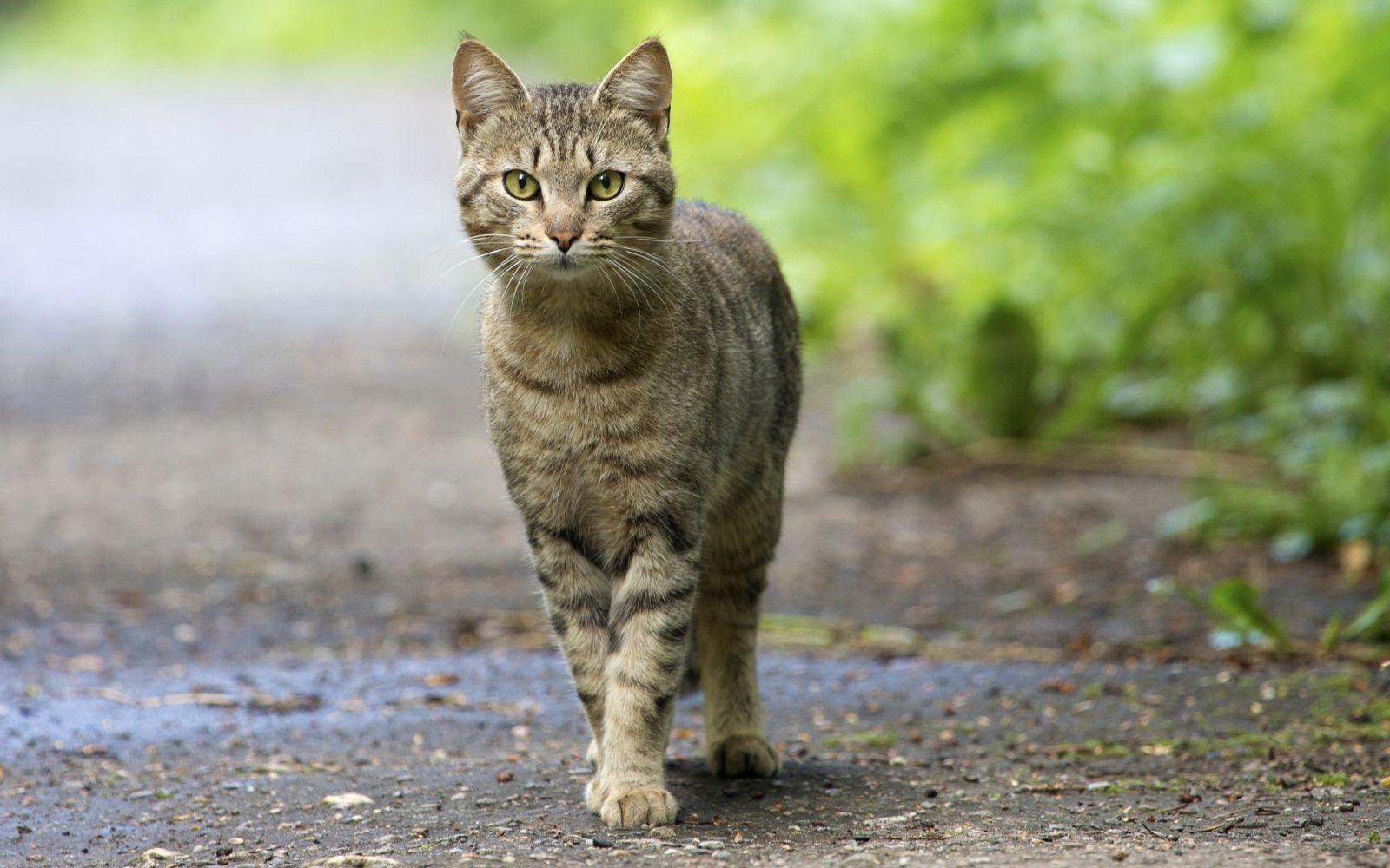 Кот гуляющий сам по себе