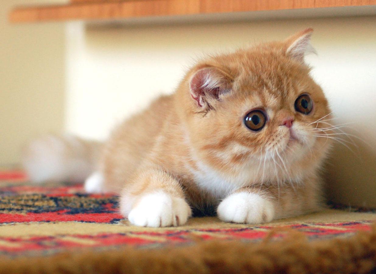 Картинка экзотической кошки